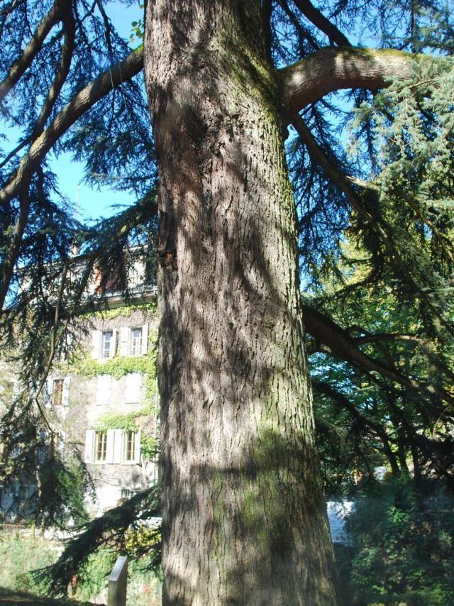 Cèdre Remarquable Parc Du Musée (3) ©mairie D'allevard Les Bains