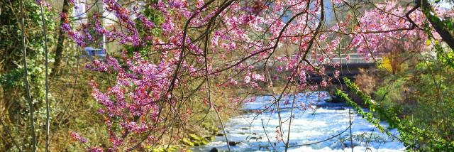 le-brda-prunus-en-fleurs-mairie-dallevard-les-bains.jpg
